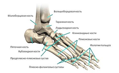 анатомия-стопы